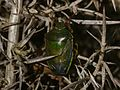 Piezodorus lituratus (Gorse Shieldbug) - spring adult - Flickr - S. Rae.jpg