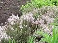 Pimientilla en flor - Thymus vulgaris.jpg