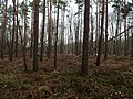 Pine-Forest next to the Großer Rohrpfuhl.jpg