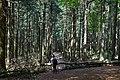 Pine forest in Altkönig.jpg