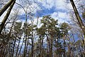 Pine trees in Perry County, PA.jpg