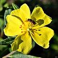 Pinebarren frostweed & Halictid bee (6798599187).jpg