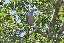 Pink-headed Imperial Pigeon (8074116303).jpg