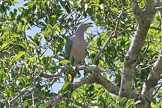 Pink-headed imperial pigeon species of bird