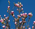 Pink Magnolia (6876102996).jpg