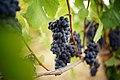 Pinot Noir One Month Before Harvest (38282431062).jpg