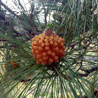 Pinus canariensis - Image: Pinus canariensis (male) in Presa de las Niñas 02 (cropped)