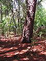 Pinus elliottii oldtree.jpg