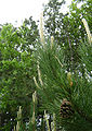 Pinus nigra young foliage cone Bulgaria.jpg