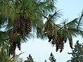 Pinus wallichiana at VanDusen Botanical Garden.jpg