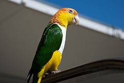 Pionites leucogaster -pet in USA-8a.jpg