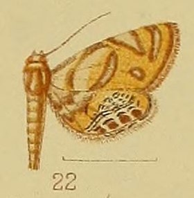 Pl.40-fig.22-Eoophyla capensis (Hampson, 1906) (syn.A.periopis).JPG