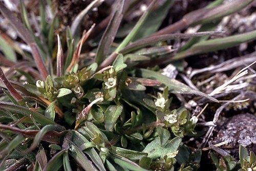 500px plagiobothrysscouleri