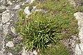 Plantago maritima plant (05).jpg