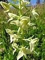 Platanthera chlorantha 12.jpg
