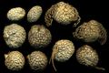 Platanus occidentalis nuts 0023.png