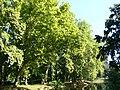 Platany Hlohovec - Plane-trees Hlohovec, Slovakia - panoramio (10).jpg