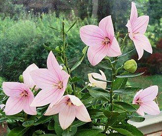 Platycodon - Pink flowered form