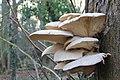 Pleurotus cornucopiae, Branching Oyster, UK.JPG