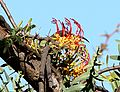 Plicosepalus sagittifolius Makueni County 4.jpg