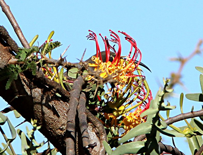 File:Plicosepalus sagittifolius Makueni County 4.jpg