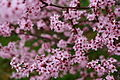 Plum-tree-spring-blossom - West Virginia - ForestWander.jpg