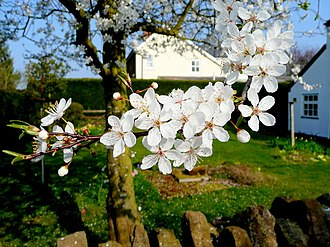 Plum - Plum flowers