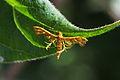 Plume Moth (Deuterocopus albipunctatus) (15519332101).jpg
