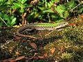 Podarcis siculus (Italian wall lizard), Nijmegen, the Netherlands - 2.jpg