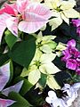 Poisetta (Euphorbia pulcherrima) 3.JPG