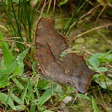 Polygonia interrogationis underside.jpg
