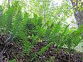 Polypodium vulgare - Kallioimarre, Stensöta, Common polypody IMG 2707 C.JPG