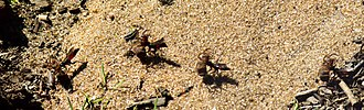 Spider wasp - Spider-hunting wasp Anoplius dragging a spider larger than herself backwards across a sandy heath (four stages are shown in the composite image)