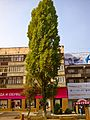 Populus pyramidalis tree in Almaty city.JPG
