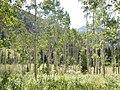 Populus tremuloides (6120520891).jpg