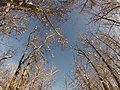 Populus trichocarpa grove in the middle of the winter.jpg