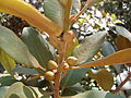 Port Jackson fig fruit (3392277172).jpg
