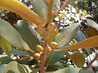 Ficus rubiginosa - Ficus rubiginosa figs (syconia) and the rusty undersides of the leaves