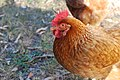 Portrait of a Hen (Unsplash).jpg