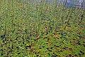 Potamogeton natans (8405315150).jpg