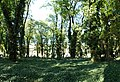 Praha, Smíchov, Malostranský hřbitov, břečťan.jpg