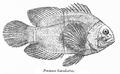 PremnasBiaculeatus.png