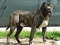 Presa-Canario-Dogo-Brindle-Dog-1024x768.jpg