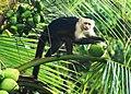 Primate of Costa Rica (8499641947).jpg