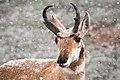 Pronghorn buck (15574681907).jpg