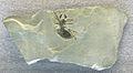 Prothelyphonus naufragus.jpg