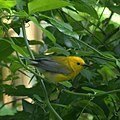 Prothonotary Warbler (6947832032).jpg
