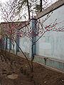PrunusVarDuplex.jpg