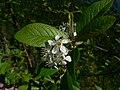 Prunus emarginata 43666.JPG
