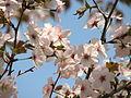 Prunus incisa 03.JPG